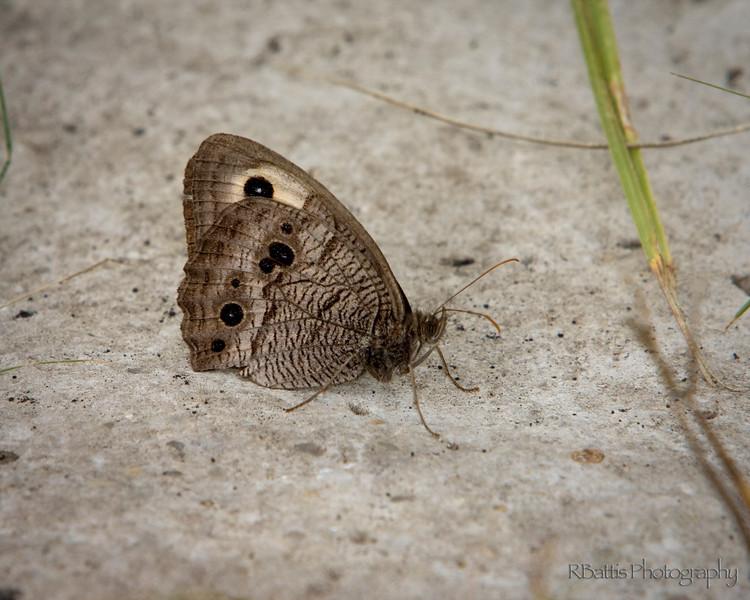 Buckeye butterfly on the Tallgrass Prairie National Preserve