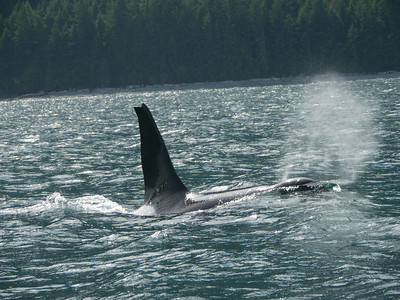 Whale Whatching, Johnstone/Discovery Strait, off Vancouver Island, British Columbia, Kanada