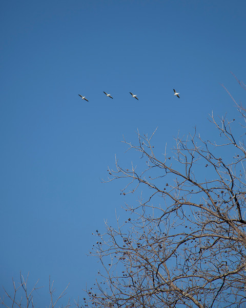 A squadron of geese overhead