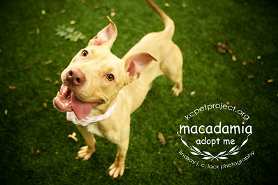 Macadamia - Goofy Girl She's a lovely, goofy girl, who's very interested in her humans and will happily sit for a treat. Macadamia is a 45lb, 3 year old pit bull mix. Currently available at KC Pet Project: please call 816-513-9821 or visit http://kcpetproject.org/adoptable-pets - #adopt - photographed by Lindsay J. C. Lack Photo Studio http://lindsayjphoto.com/