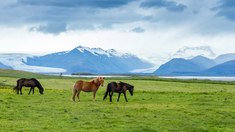 Icelandic Horses and Glaciers
