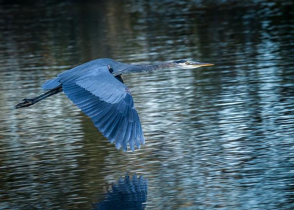 Winged Blue