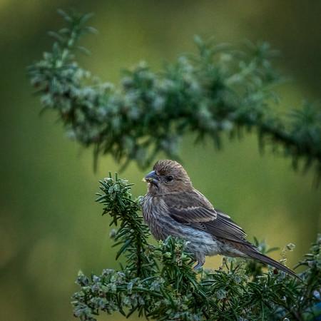 Finch in Rosemary