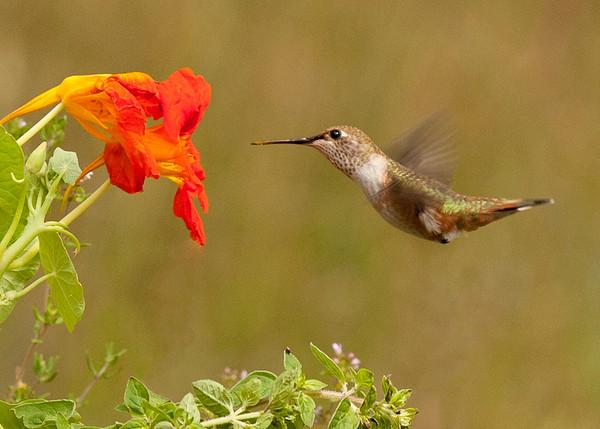 Hummingbird and Nasturtium
