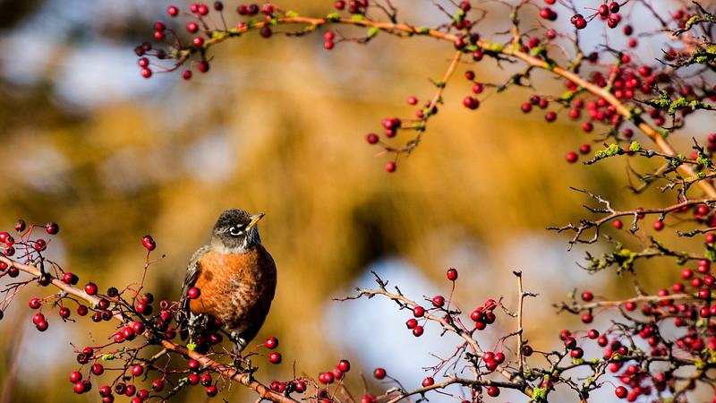 Robin on Red Berry Bush