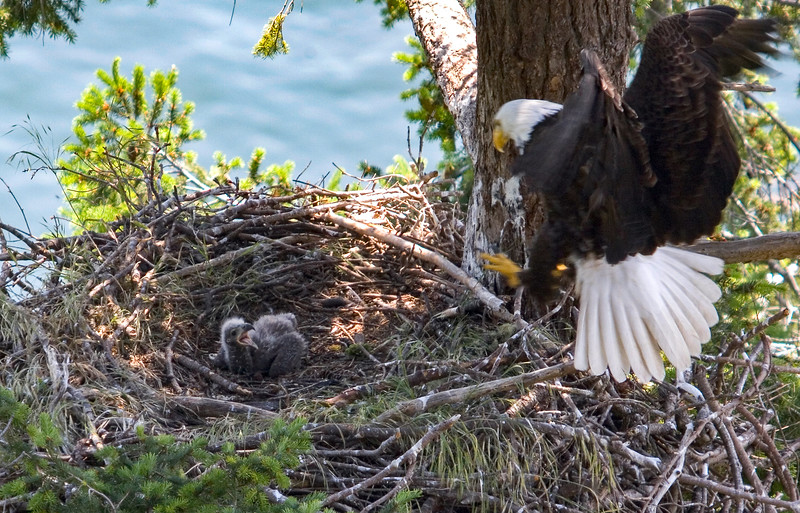 020-c adult returning to nest end May