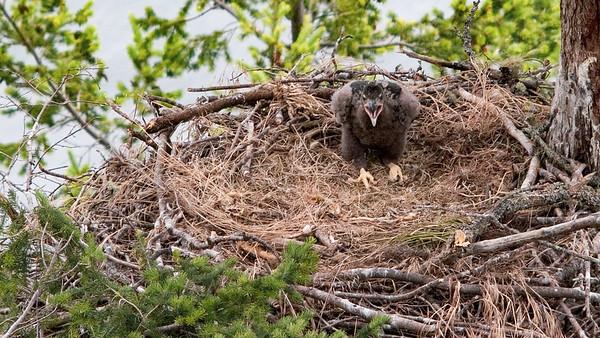 022-h eaglet calling