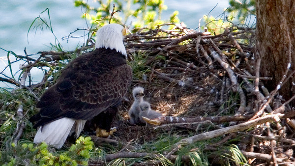 006-a eaglets sitting up mid-May