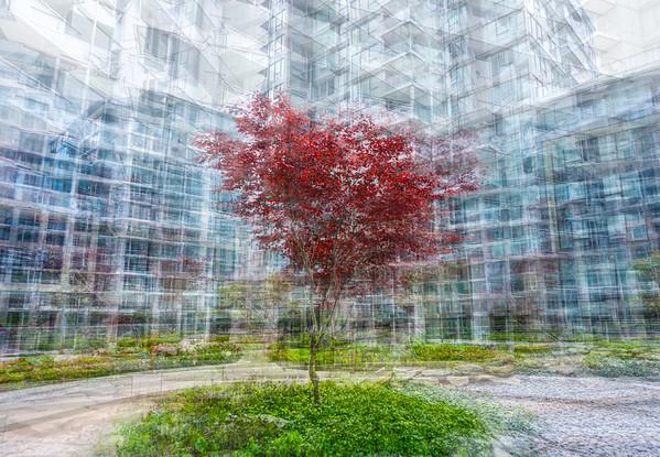 Urban Red Maple