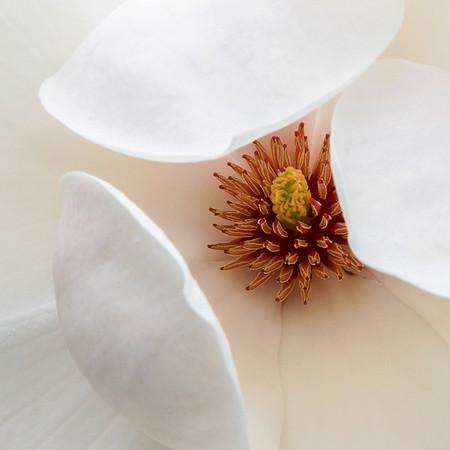 Atlas Magnolia