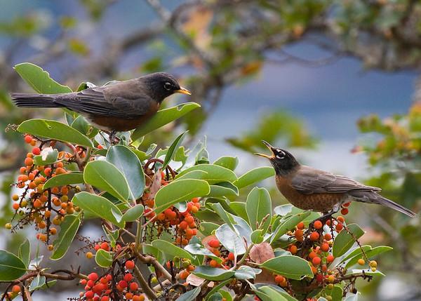 Robins Conversing