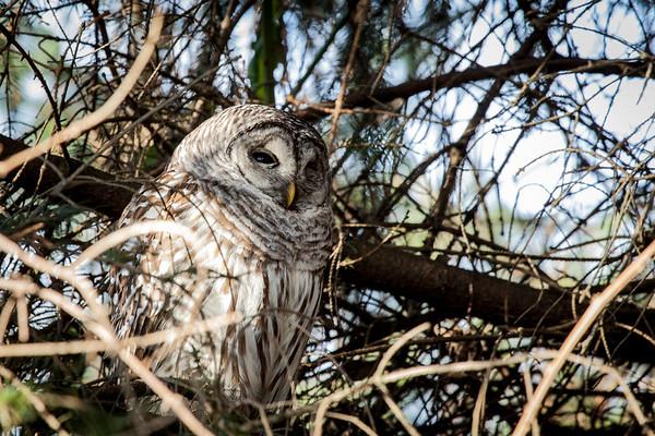 Barred Owl Peeking