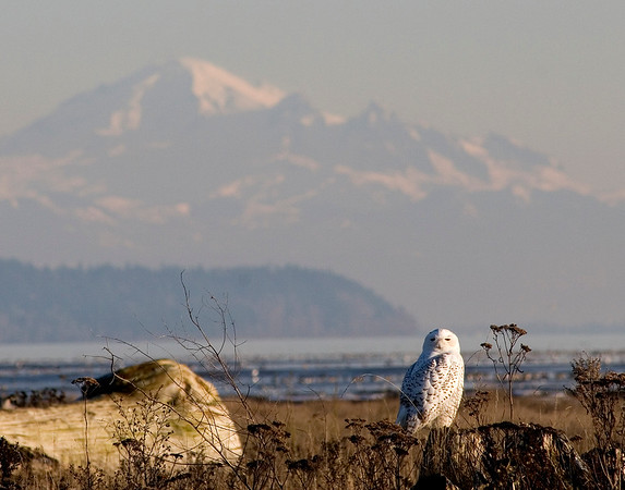 Snowy Owl and Mount Baker