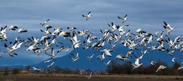 Snow Geese Descending