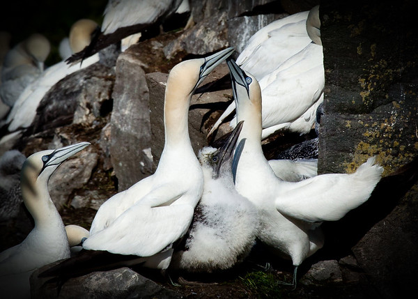 Cape Mary Gannets