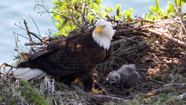 019-d adult and eaglet