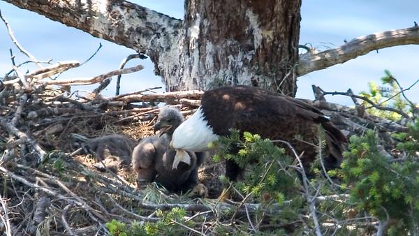 020-x parent feeding chick