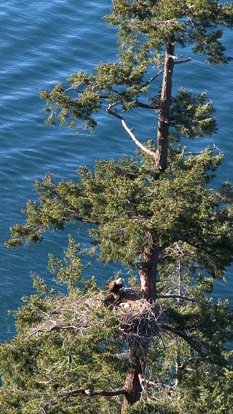 014-a eagle nest tree