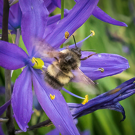 Bee and Camas Flower