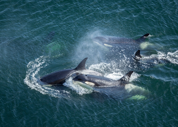 Orcas from Above
