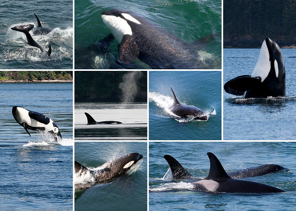 Orca Collage