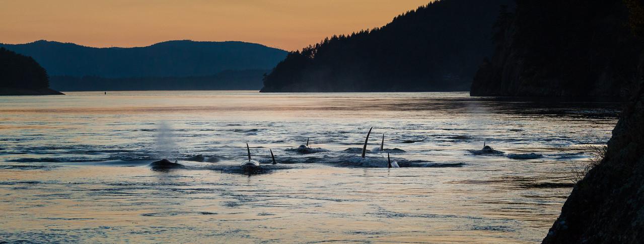 Orcas at Dusk pano