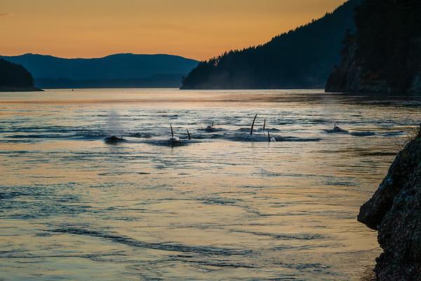 Evening Orcas