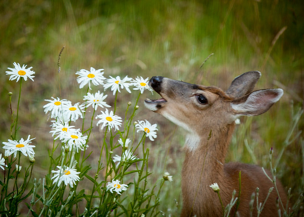 Deer and Daisies