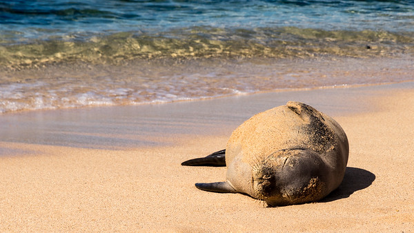 Monk Seal Snoozing