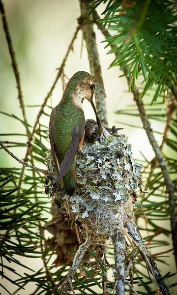 Hummingbird Meal Time
