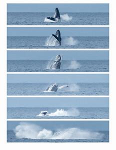 004-humpback breach series-2