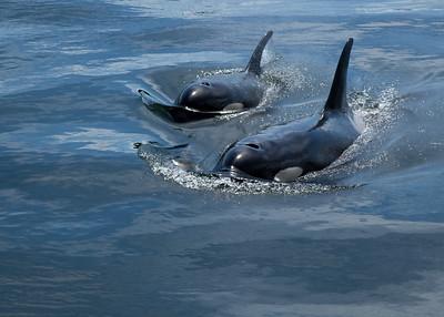 Orca Duo