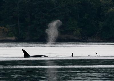 Orca Silhouette
