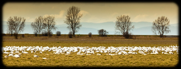 Ladner Snowgeese