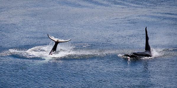 Orca Tail Slap and Mr. Ruffles