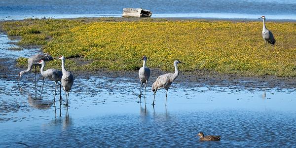 Sandhill Cranes, Reifel Refuge, Ladner, BC