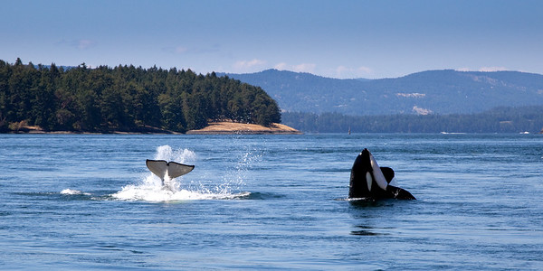 Orcas in Active Pass