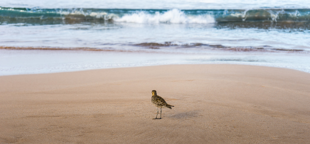 Plover and Surf