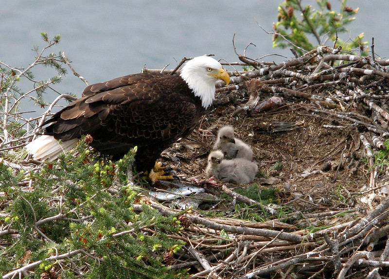 Eagles in the Nest