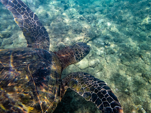 An endangered green sea turtle underwater.