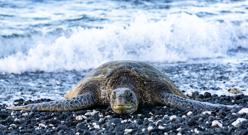 An endangered green sea turtle rests on a beach
