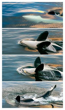 Orca Backstroke Series