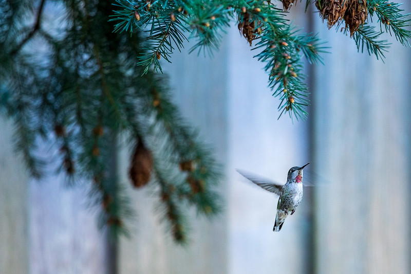 Happiness is a hummingbird in the springtime.