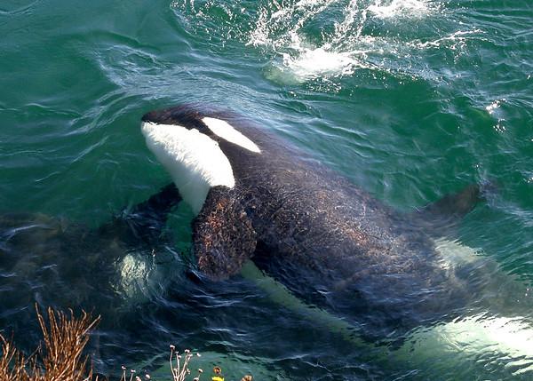 Orca Underwater