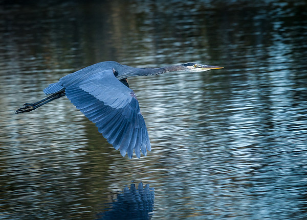 Blue on the Wing