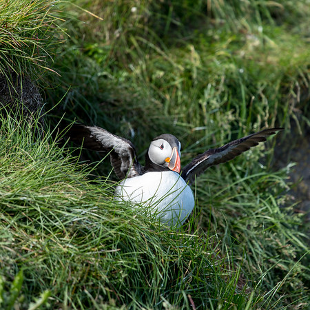Icelandic Puffin in its Burrow