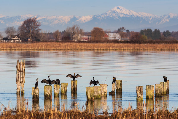 Cormorants Catching Some Sun