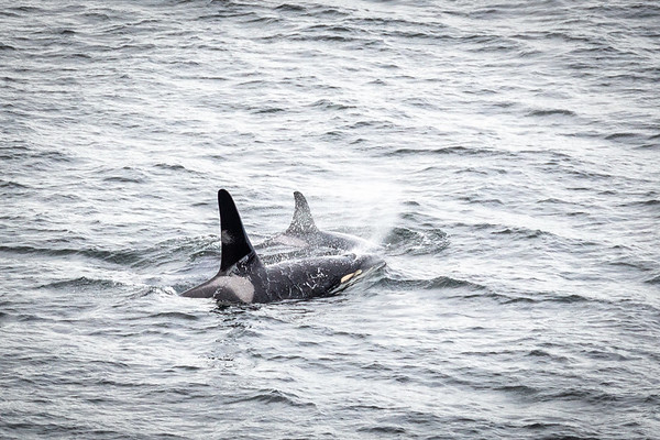 Two Southern Resident Orcas