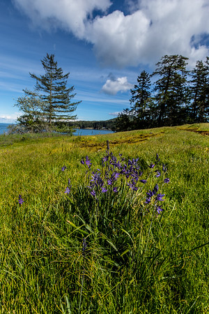 Camas wildflowers at Bellhouse Park.