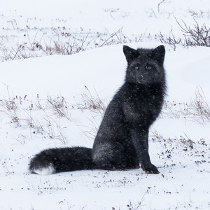 Silver Phase Red Fox